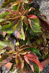 Tiki Jungle Cloak Copper Plant (Acalypha wilkesiana 'Jungle Cloak') at Roger's Gardens