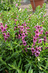 Pinstripe Zebra Angelonia (Angelonia angustifolia 'Pinstripe Zebra') at Roger's Gardens