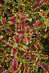 Under The Sea Electric Coral Coleus (Solenostemon scutellarioides 'Electric Coral') at Roger's Gardens