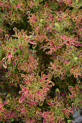 Under The Sea Red Coral Coleus (Solenostemon scutellarioides 'Red Coral') at Roger's Gardens