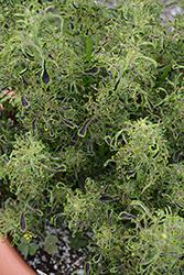 Under The Sea Sea Weed Coleus (Solenostemon scutellarioides 'Sea Weed') at Roger's Gardens