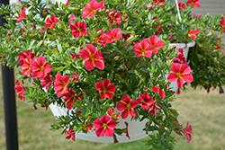 Aloha Red Cartwheel Calibrachoa (Calibrachoa 'Aloha Red Cartwheel') at Roger's Gardens