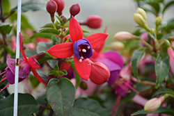 Bella Fuchsia Susanna Fuchsia (Fuchsia 'Bella Fuchsia Susanna') at Roger's Gardens