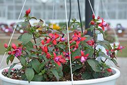 Bella Fuchsia Sarah Fuchsia (Fuchsia 'Bella Fuchsia Sarah') at Roger's Gardens