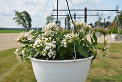 Starcluster Trail White Star Flower (Pentas lanceolata 'Starcluster Trail White') at Roger's Gardens