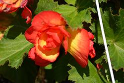 AmeriHybrid Picotee Sunburst Begonia (Begonia 'AmeriHybrid Picotee Sunburst') at Roger's Gardens