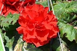 AmeriHybrid Ruffled Red Begonia (Begonia 'AmeriHybrid Ruffled Red') at Roger's Gardens