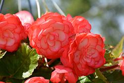 On Top Fandango Begonia (Begonia 'AmeriHybrid On Top Fandango') at Roger's Gardens