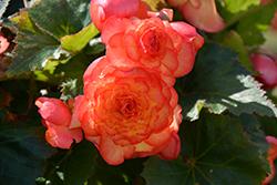 On Top Sunset Shades Begonia (Begonia 'AmeriHybrid On Top Sunset Shades') at Roger's Gardens