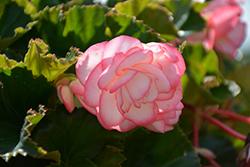 On Top Pink Halo Begonia (Begonia 'AmeriHybrid On Top Pink Halo') at Roger's Gardens