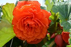 AmeriHybrid Ruffled Mandarin Orange Begonia (Begonia 'AmeriHybrid Ruffled Mandarin Orange') at Roger's Gardens
