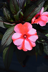 Sonic Sweet Red New Guinea Impatiens (Impatiens 'Sonic Sweet Red') at Roger's Gardens