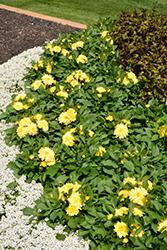 Dahlinova Hypnotica Yellow Dahlia (Dahlia 'Hypnotica Yellow') at Roger's Gardens