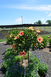 Fiesta Hibiscus (Hibiscus rosa-sinensis 'Fiesta') at Roger's Gardens