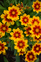 UpTick Gold and Bronze Tickseed (Coreopsis 'Baluptgonz') at Roger's Gardens