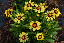 UpTick Yellow and Red Tickseed (Coreopsis 'Baluptowed') at Roger's Gardens