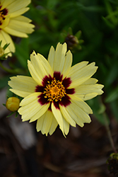 UpTick Cream and Red Tickseed (Coreopsis 'Balupteamed') at Roger's Gardens
