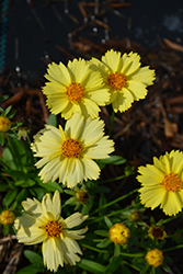 Solanna Glow Tickseed (Coreopsis grandiflora 'Solanna Glow') at Roger's Gardens