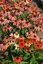 Cheyenne Spirit Coneflower (Echinacea 'Cheyenne Spirit') at Roger's Gardens