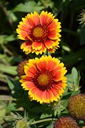 Arizona Sun Blanket Flower (Gaillardia x grandiflora 'Arizona Sun') at Roger's Gardens