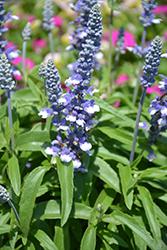 Cathedral Shining Sea Salvia (Salvia farinacea 'Cathedral Shining Sea') at Roger's Gardens