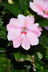 SunPatiens Spreading Pink Kiss New Guinea Impatiens (Impatiens 'SAKIMP043') at Roger's Gardens