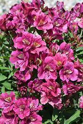 Colorita Louise Alstroemeria (Alstroemeria 'Zaprilou') at Roger's Gardens