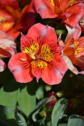 Colorita Letizia Alstroemeria (Alstroemeria 'Zaprilet') at Roger's Gardens