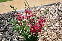 Archangel Cherry Red Angelonia (Angelonia angustifolia 'Balarcher') at Roger's Gardens