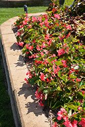 Megawatt Rose Green Leaf Begonia (Begonia 'Megawatt Rose Green Leaf') at Roger's Gardens