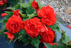 Nonstop Red Begonia (Begonia 'Nonstop Red') at Roger's Gardens