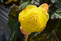 Nonstop Mocca Yellow Begonia (Begonia 'Nonstop Mocca Yellow') at Roger's Gardens