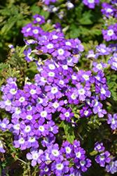 Empress Flair Blue Charme Verbena (Verbena 'Empress Flair Blue Charme') at Roger's Gardens