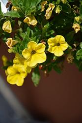 Aloha Yellow Calibrachoa (Calibrachoa 'Aloha Yellow') at Roger's Gardens