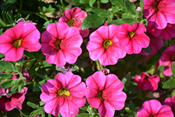 Aloha Hot Pink Calibrachoa (Calibrachoa 'Aloha Hot Pink') at Roger's Gardens