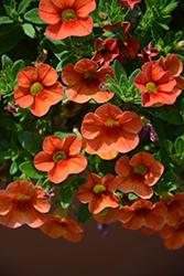 Aloha Hot Orange Calibrachoa (Calibrachoa 'Aloha Hot Orange') at Roger's Gardens