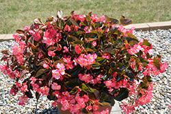 Megawatt Pink Bronze Leaf Begonia (Begonia 'Megawatt PInk Bronze Leaf') at Roger's Gardens