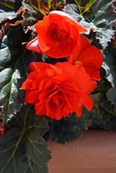 Nonstop Mocca Scarlet Begonia (Begonia 'Nonstop Mocca Scarlet') at Roger's Gardens