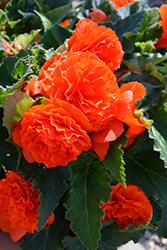 Nonstop Orange Begonia (Begonia 'Nonstop Orange') at Roger's Gardens
