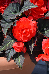 Nonstop Mocca Cherry Begonia (Begonia 'Nonstop Mocca Cherry') at Roger's Gardens