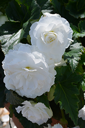 Nonstop White Begonia (Begonia 'Nonstop White') at Roger's Gardens