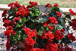 Solenia Velvet Red Begonia (Begonia x hiemalis 'Solenia Velvet Red') at Roger's Gardens