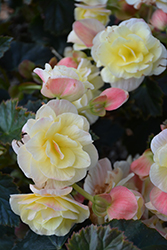 Solenia Light Yellow Begonia (Begonia x hiemalis 'Solenia Light Yellow') at Roger's Gardens