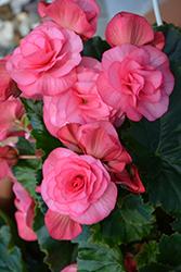 Solenia Dusty Rose Begonia (Begonia x hiemalis 'Solenia Dusty Rose') at Roger's Gardens