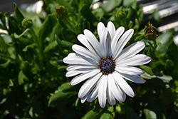 Margarita Supreme White African Daisy (Osteospermum 'Margarita Supreme White') at Roger's Gardens