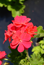 Calliope Medium Hot Pink Geranium (Pelargonium 'Calliope Medium Hot Pink') at Roger's Gardens
