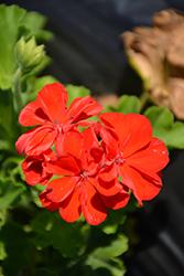 Calliope Scarlet Geranium (Pelargonium 'Calliope Scarlet') at Roger's Gardens