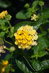 Bandana Lemon Zest Lantana (Lantana camara 'Bandana Lemon Zest') at Roger's Gardens