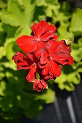 Calliope Medium Burgundy Geranium (Pelargonium 'Calliope Medium Burgundy') at Roger's Gardens