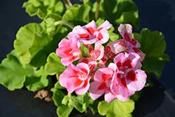 Calliope Light Pink Splash Geranium (Pelargonium 'Calliope Light Pink Splash') at Roger's Gardens